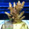 Acropora sp. Green Purple - WYSIWYG