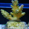 Montipora sp. 5 `grün´ Größe M
