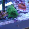 Acropora blau wysiwyg
