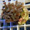 Echinopora llamelosa