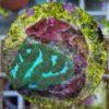 Duncanopsammia axifuga - Bartkoralle 4 Polypen