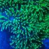 Anthelia sp. 03 - Zartgefiederte Straußenkoralle M