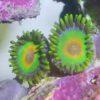 Zoanthus Sp gelb grün 5 Polypen!!!