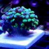 Caulastrea furcata blaugrün 6 Polypen