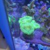 Caulastrea furcata neongreen ultra 2 Polypen