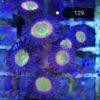 Zoanthus rainbow Incinerator 4P+