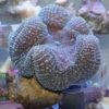 Goniopora lobata - purple/blue WYSIWYG Long Polyp