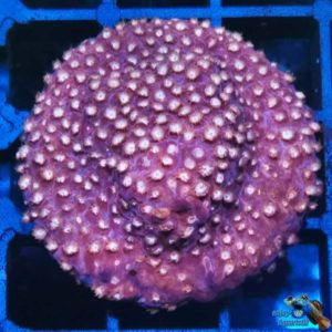 Cyphastrea red/white