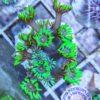 Alveopora Tizardi XL WYSIWYG