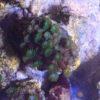 Catalaphyllia jardinei – Wunderkoralle Ultra Green