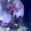 Echinophyllia echinoporoides