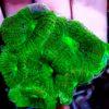 Euphyllia glabrescens WYSIWYG