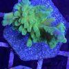 Acropora rosa beige blau, weiße Polypen Gr. M