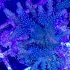 Acropora sp. bicolor blau creme Gr. S