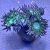 Euphyllia paraancora gold WYSIWYG
