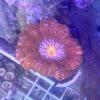 Euphyllia Paradevissa