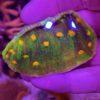 Trachyphyllia Ultra neongrün