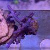 Stylophora pistillata Fiji Pink Ultra (L)