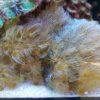 Zoanthus Blue Kisses 8 Polypen