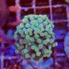 Blood orange leptoseris