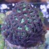 Catalaphyllia jardinei Wunderkoralle lila grün WYSIWYG Gross!!!