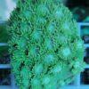 Pavona cactus hellgrün großblättrig