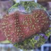 Caulastraea furcata (Flötenkoralle, mintgrün) 1-2 Köpfe