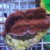 Stylophora Milka (S)