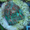 Favites war coral (WYSIWYG)