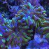Euphyllia paraancora (Fimbriaphyllia), neon green Tips, WYSIWYG