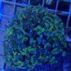 Euphyllia paraancora-Green/gleaming - WYSIWYG