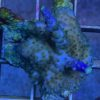 Acropora sp. grün - blau