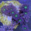 Clavularia Golden Stripe, Röhrenkoralle, ca. 35-40 Polypen