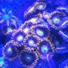 Zoanthus `Blueberry Pie´ - ca. 10 Polypen
