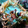 Entacmaea quadricolor (Kupferanemone, rot) Größe L