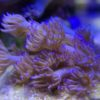 Kelchkoralle Turbinaria reniformis ultra gelb