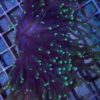 """Euphyllia paraancora (Fimbriaphyllia), green and blue Tips,"""" WYSIWYG """""""