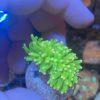 Goniopora lila WYSIWYG