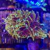 Fungia orange