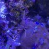 Clibanarius tricolor - Blaubein-Einsiedlerkrebs (Cleaning Crew) 5 Stück