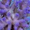 Acropora lila