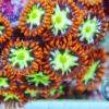 Zoanthus Fake Chilli (2 Polypen)