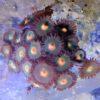 Blue Berry Pie Zoanthus 1 bis 2 Polypen