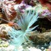 Sabelastarte spectabilis (Indo-Pazifischer Röhrenwurm) Größe M/L
