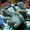 Sarcophyton ehrenbergi (Pilzlederkoralle, weiße Polypen) Größe L