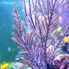 Muricea elongata (Karibische Hornkoralle, violett) Größe S (ca. 3 - 4 cm)