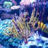 Menella sp. (Gorgonie, rot-gelb) Größe S/M (6 - 8 cm)