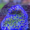 Acropora Millepora Ultra WYSIWYG
