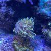Favia War Coral WYSIWYG