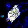 Acropora sp. grün